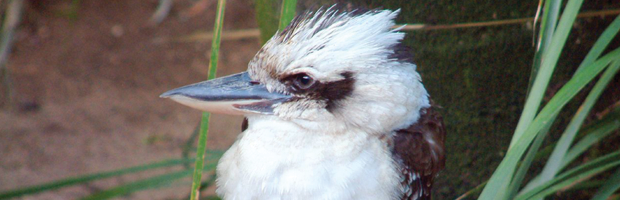 Photo: Laugh Kookaburra Laugh by -just-jen-
